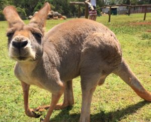 The kangaroos at the sanctuary were quite friendly! As long as you had food to offer them, anyway.